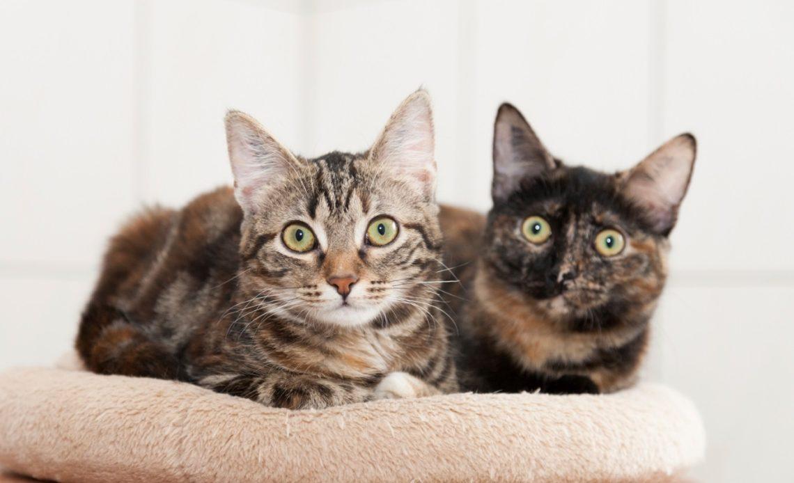 Как подружить кошку с другими кошками?