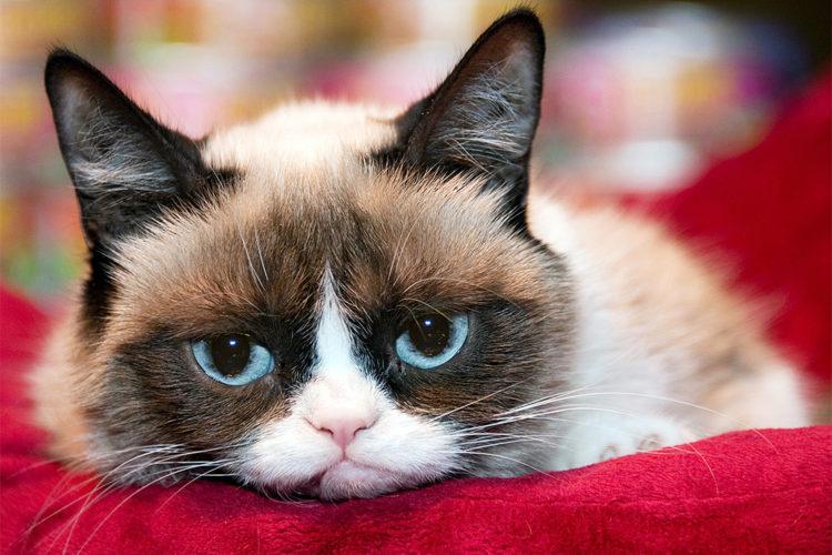 Кошка-мем Grumpy Cat