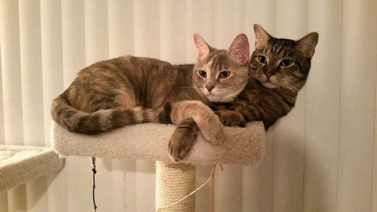 Как кошка спаривается с котом?