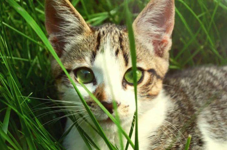 редставители семейства кошачьих также могут слышать звуки на больших расстояниях