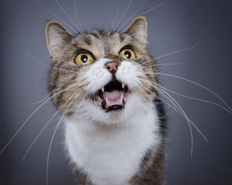 Почему у кошки пропал голос?
