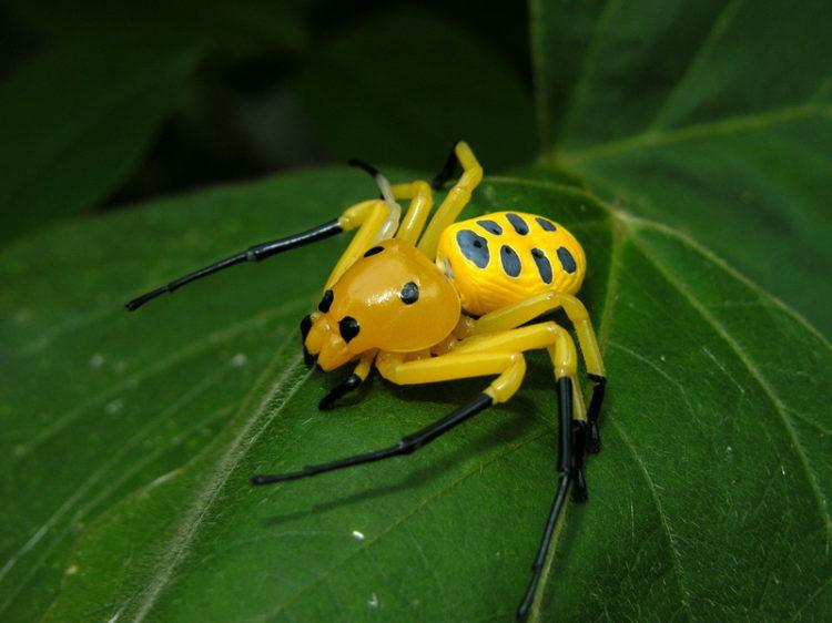 Восьмипятнистый крабовый паук