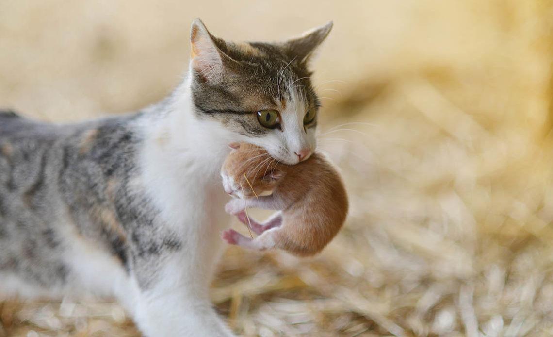 Как кошка носит котят