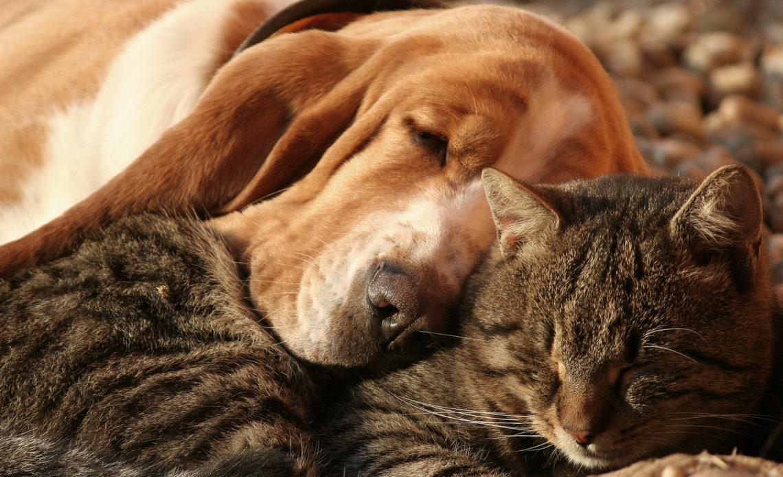 Как кошку с собакой подружить