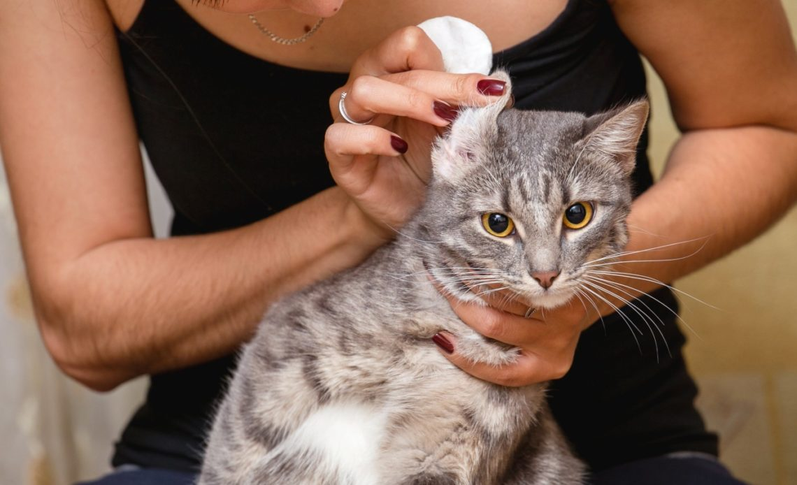 Как чистить кошке уши?