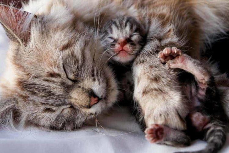 Как узнать, что кошка рожает?