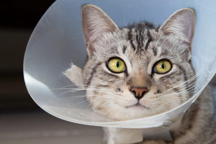 Чтобы кошка не смогла лизать рану, ей следует надеть специальное приспособление – Елизаветинский воротник