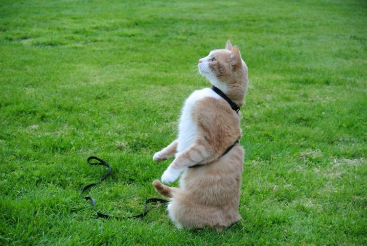 Пищевая награда – один из самых действенных инструментов в дрессировке котенка