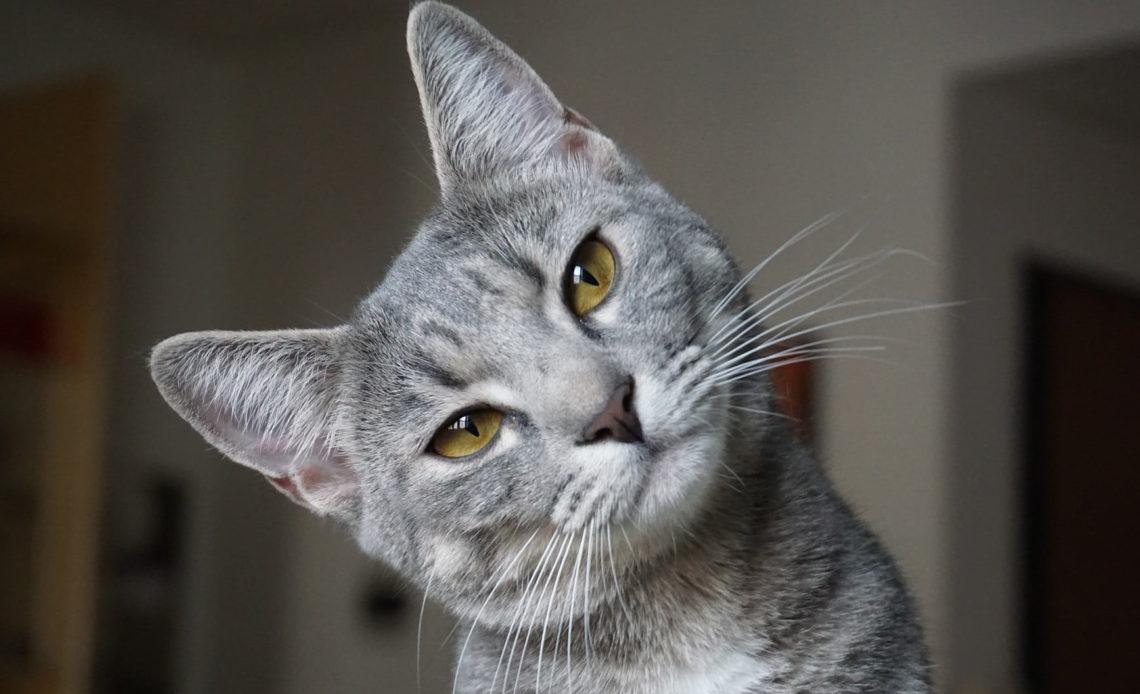 Почему у кошки опухает нижняя губа?