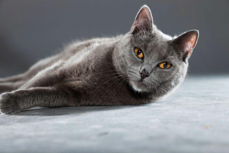 Картезианская кошка, или шартрез