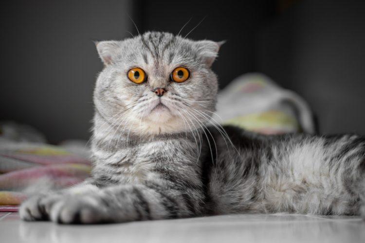 Как выбрать имя для шотландской кошки?