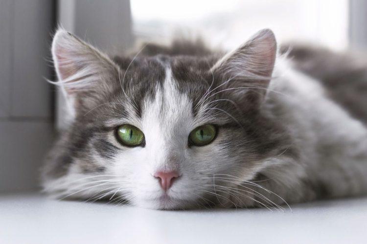 Как проглистогонить кошку?