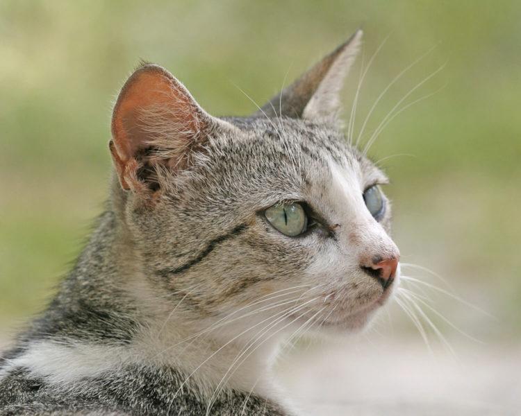 Бразильская короткошерстная кошка - это необычайно ласковые и любвеобильные животные, которые хранят в себе неистощимый запас жизненных сил и энергии.