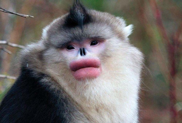 Бирманская курносая обезьяна, или Ринопитек Страйкера