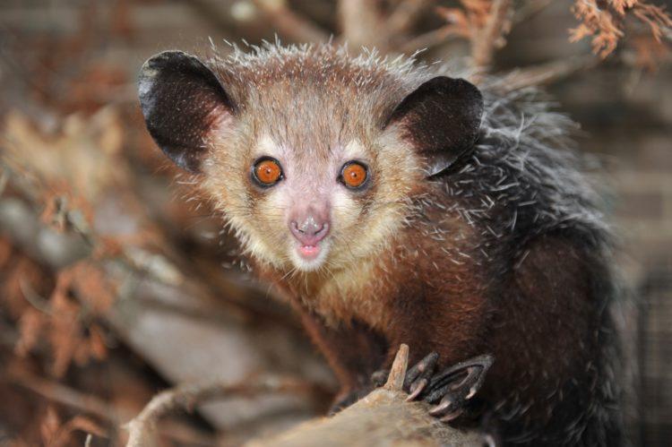 Мадагаскарская руконожка, или ай-ай