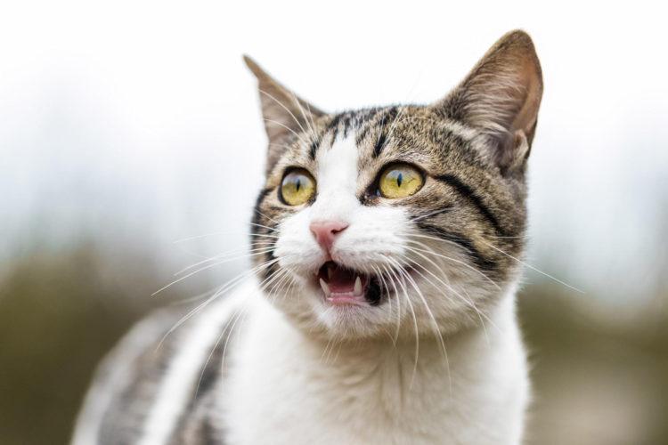 Почему кошка все время мяукает?