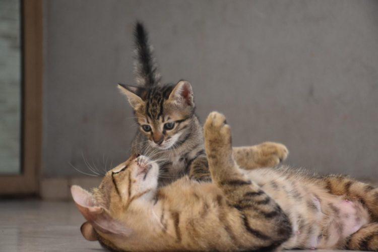 Кошки могут беременеть на протяжении всего года