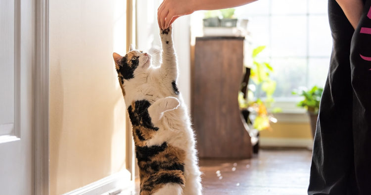 Обучение кошки требует терпения