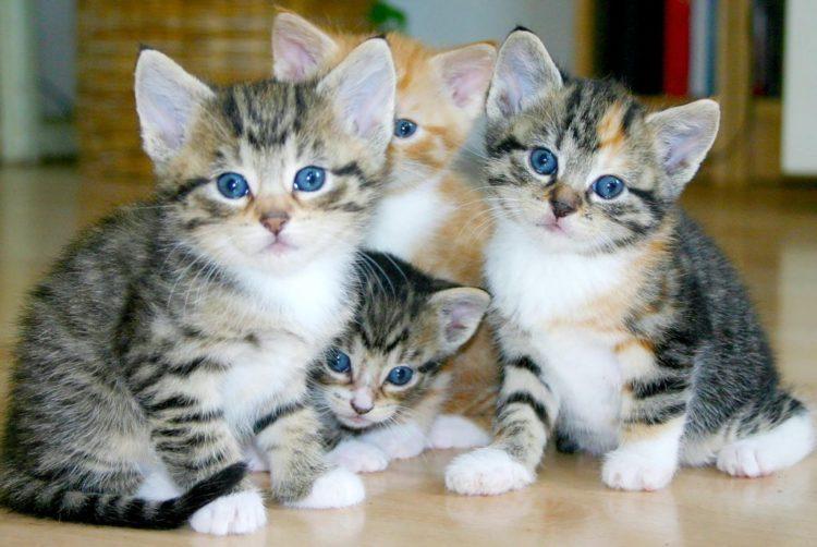 За год у кошки бывает до пяти пометов, каждый из которых включает от одного до шести котят
