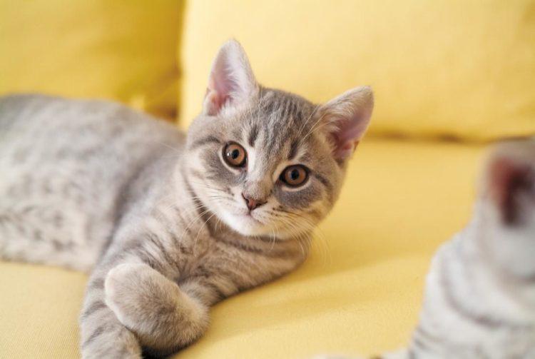 Нестерилизованные кошки больше подвержены риску возникновения инфекций матки