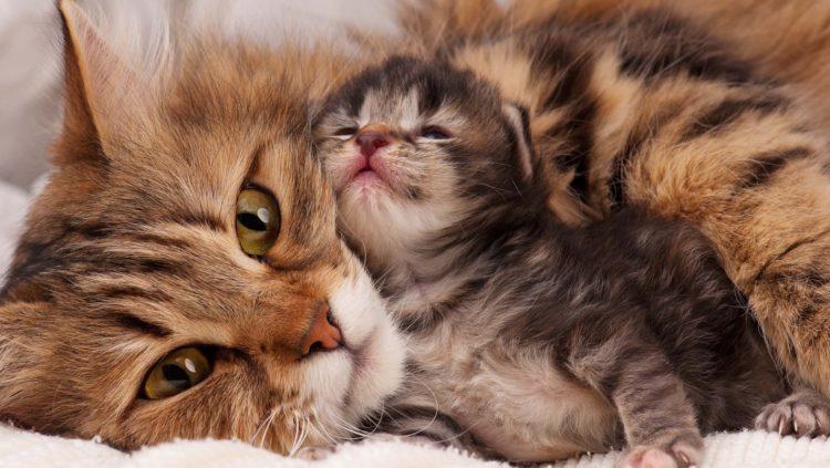 Котята мурлыкают в ответ на мамину заботу, сообщая об удовлетворении