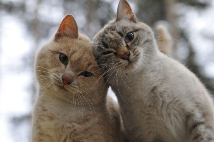 Почему кошки бодаются?