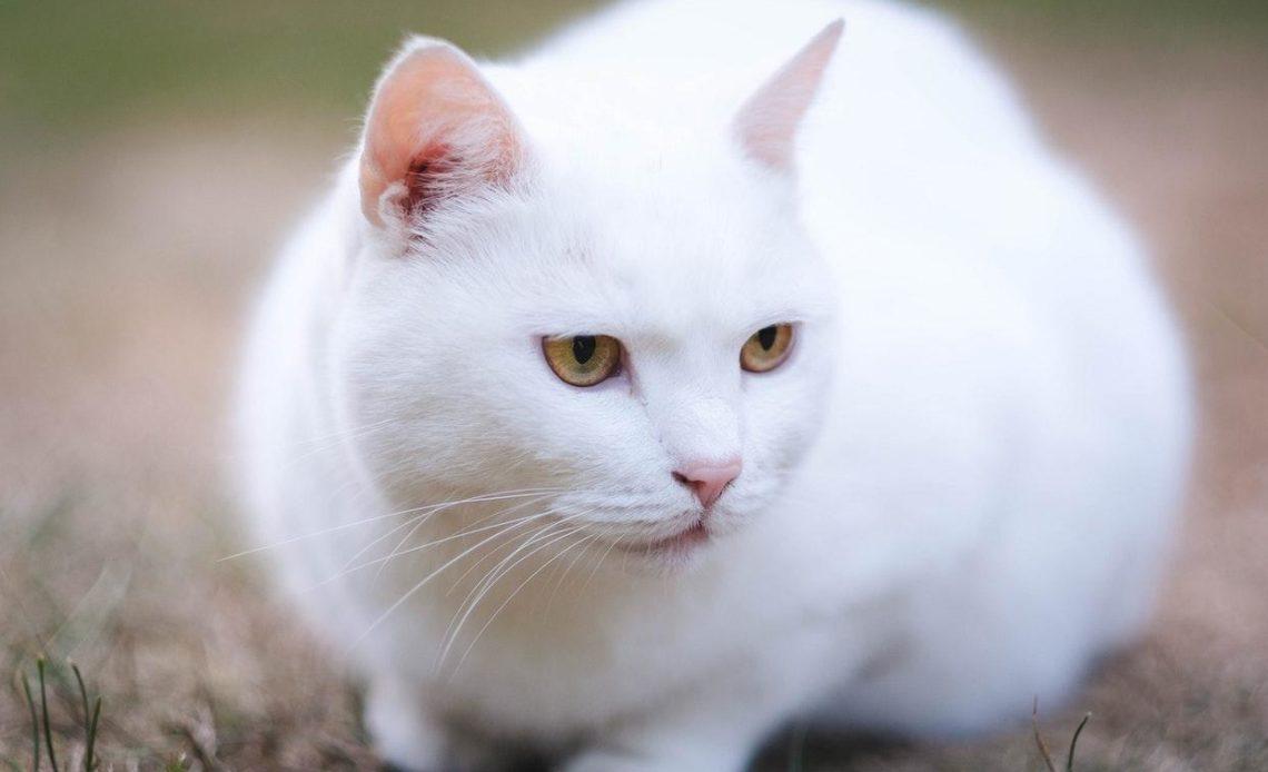 Почему белые кошки глухие?