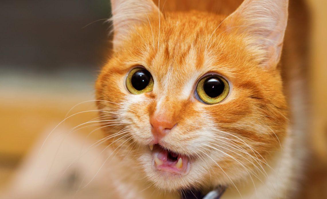 Почему кошка мяукает и поднимает зад?