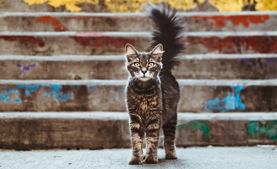 Почему кошки распушают хвост?
