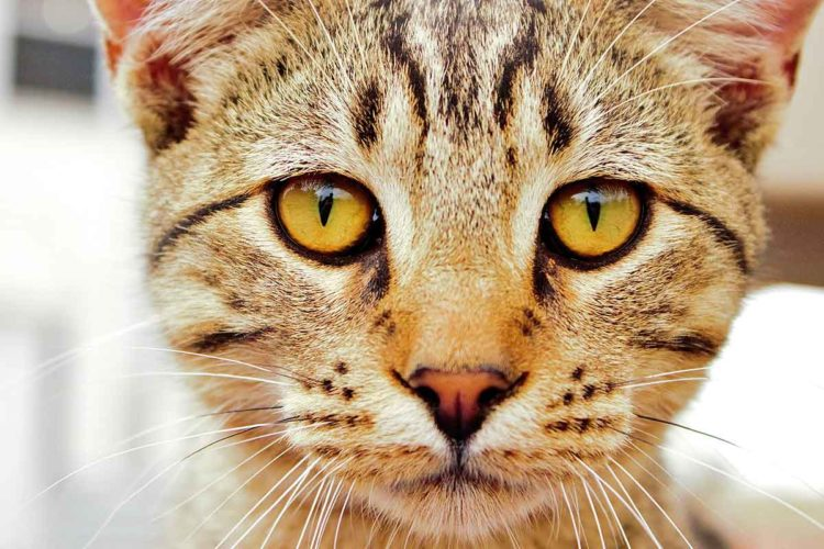 Почему у кошки меняется цвет глаз?