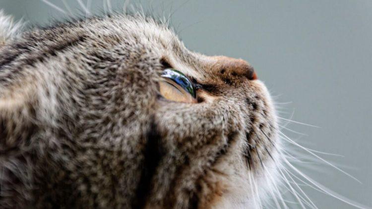 Как плачет кошка?