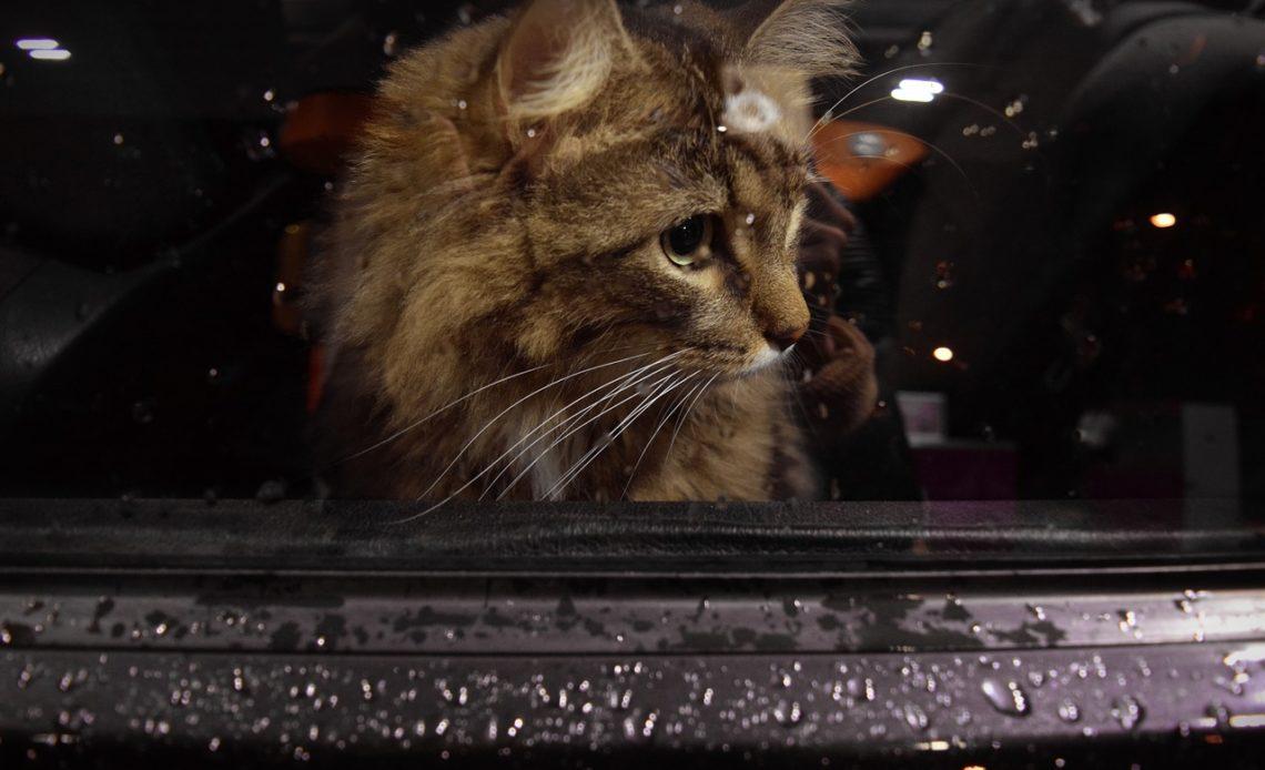 Как кошка переживает смерть кошки?