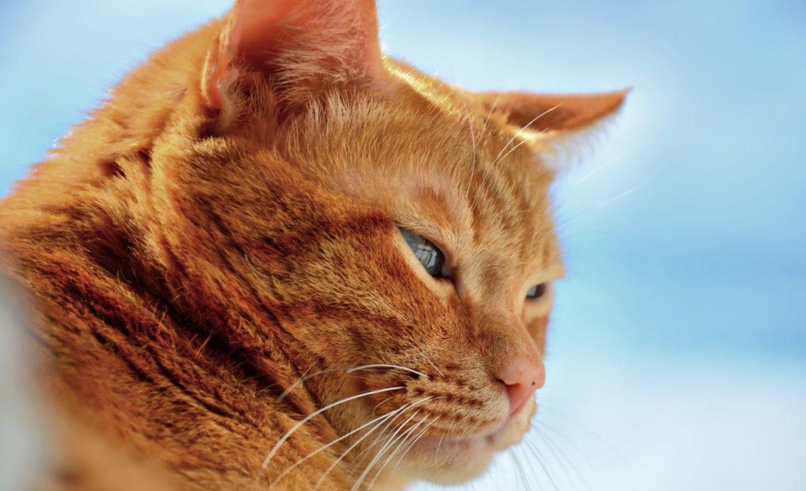 Рыжие породы кошек