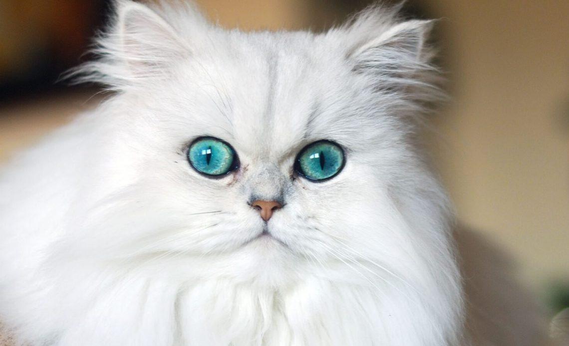 Породы длинношерстных кошек