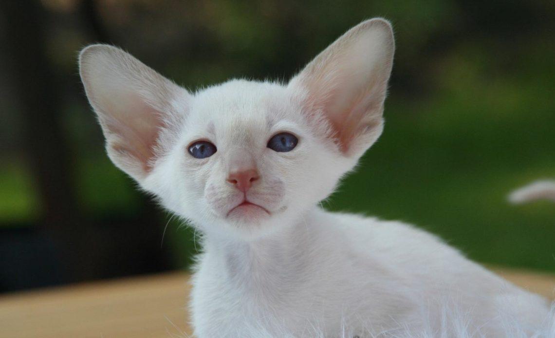 Породы кошек с большими ушами
