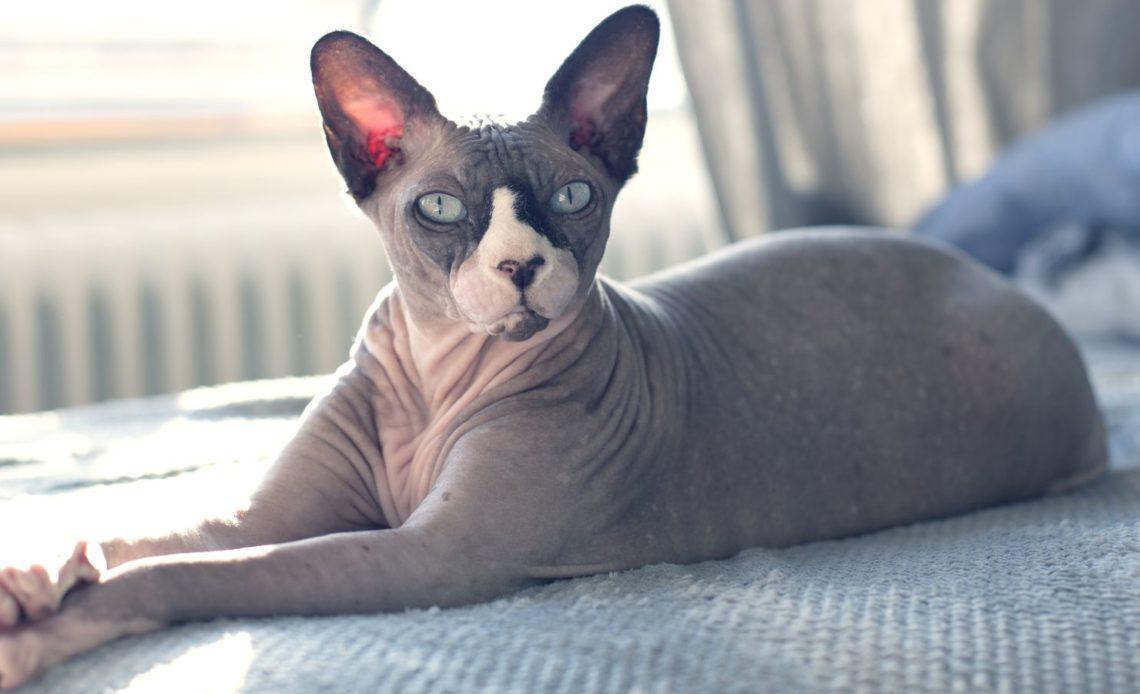 Породы кошек, которые не линяют