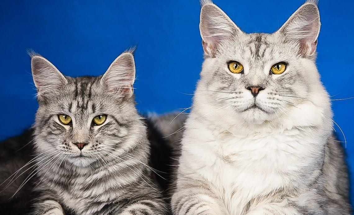 Большие породы кошек