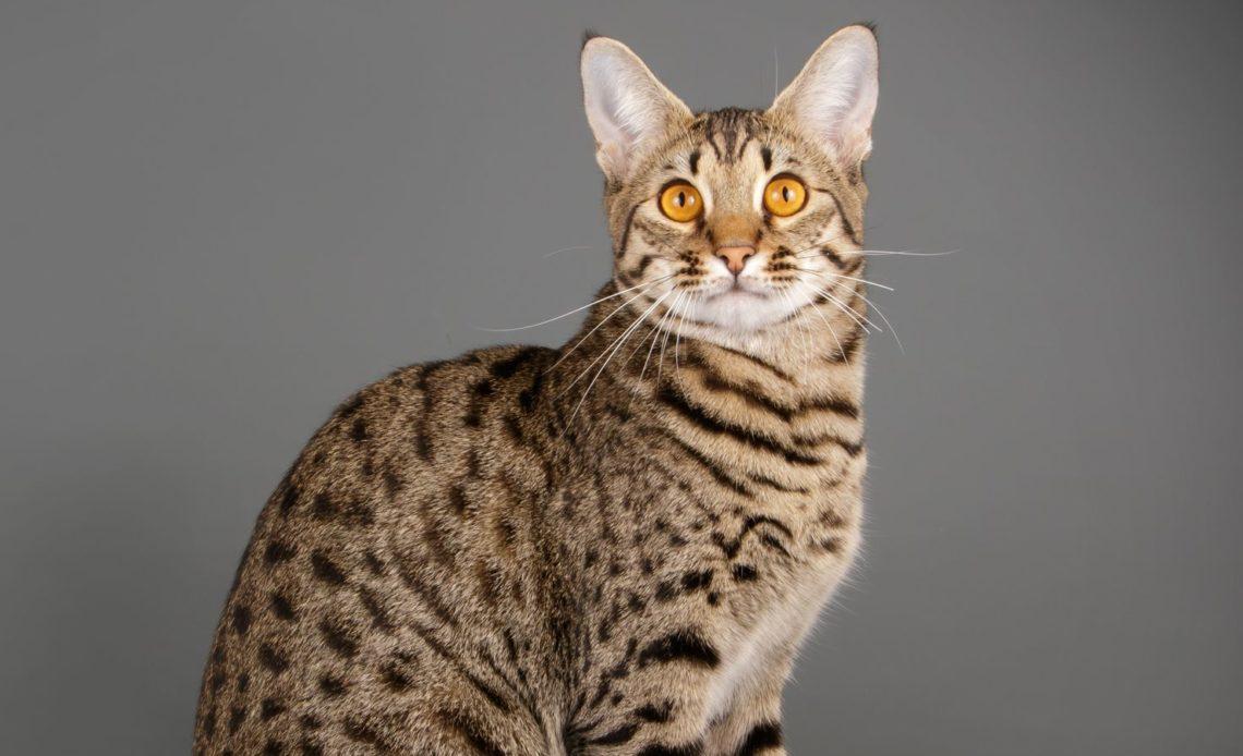 Породы кошек как леопард