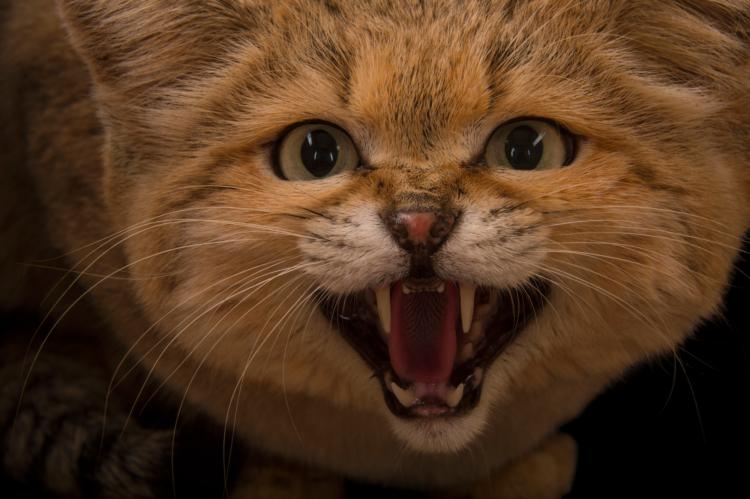 Песчаный кот