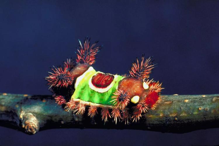 Седловидная гусеница