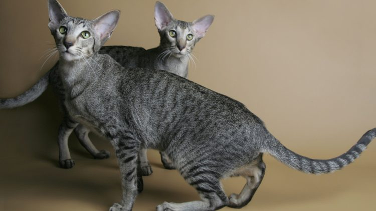 Ориентальная кошка.jpg