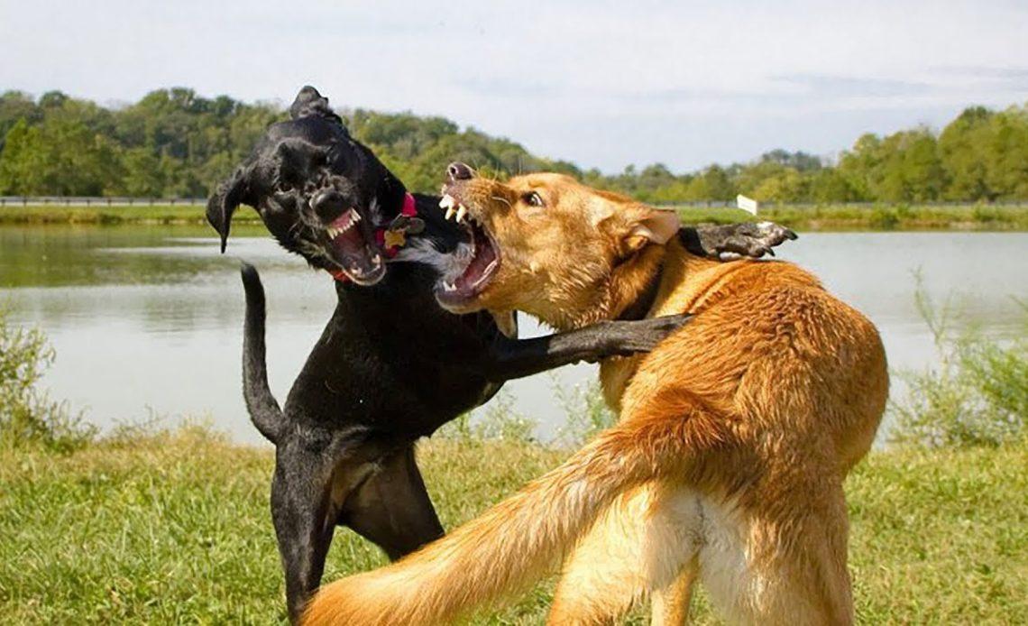 Почему собака бросается на других собак?