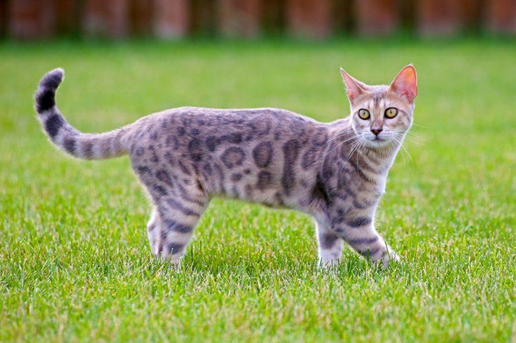 Породы кошек, которые не мяукают