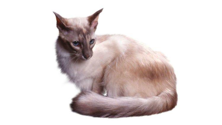 Яванская кошка