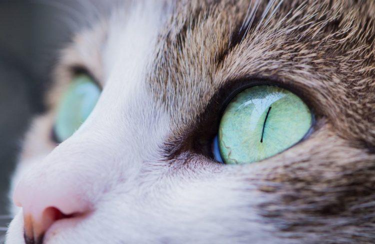 Почему у кошек вертикальные зрачки?