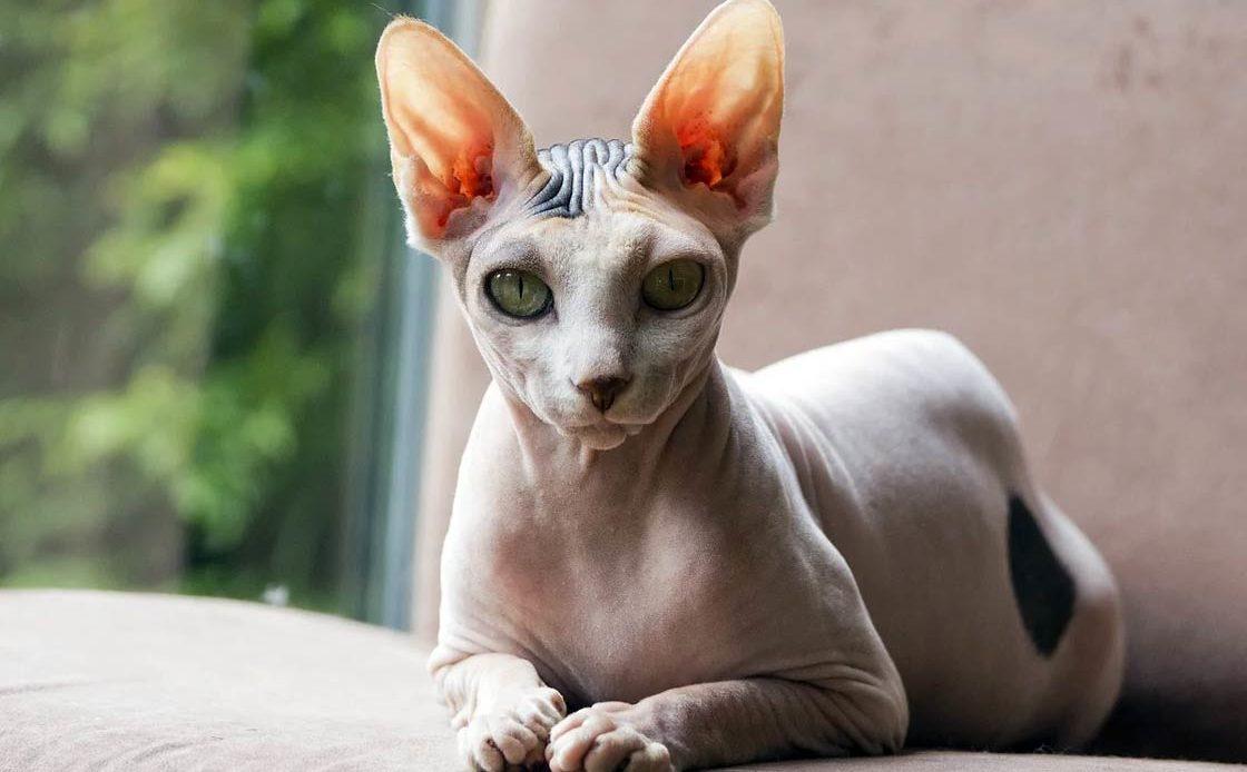 Породы лысых кошек