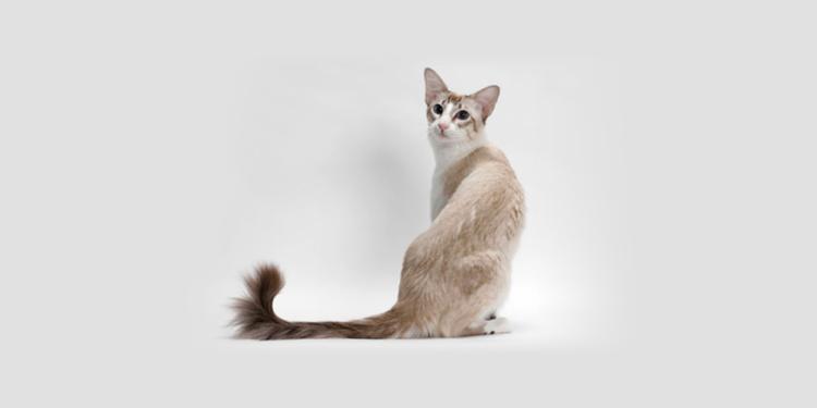 Балинезийская (балийская) кошка
