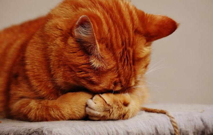 Почему кошка пукает?