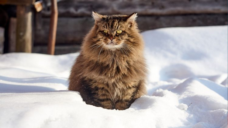 Породы кошек крысоловов