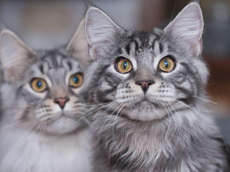 Самые добрые породы кошек